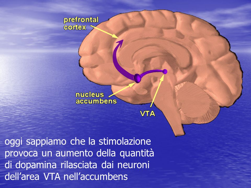 Slide 11: The reward pathway Tell your audience that this is a view of the brain cut down the middle. An important part of the reward pathway is shown and the major structures are highlighted: the ventral tegmental area (VTA), the nucleus accumbens and the prefrontal cortex. The VTA is connected to both the nucleus accumbens and the prefrontal cortex via this pathway and it sends information to these structures via its neurons. The neurons of the VTA contain the neurotransmitter dopamine which is released in the nucleus accumbens and in the prefrontal cortex (point to each of these structures). Reiterate that this pathway is activated by a rewarding stimulus. [Note: the pathway shown here is not the only pathway activated by rewards, other structures are involved too, but only this part of the pathway is shown for simplicity.]